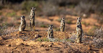 Erdmännchen in Oudtshoorn (Südafrika). von Claudio Duarte