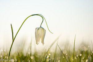 berijpte witte kievitsbloem van