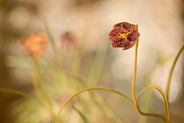 Kievitsbloem (Fritillaria meleagris) van Carola Schellekens