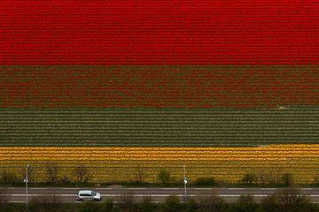 Bloembollenveld met tulpen bij Noordwijkerhout in bloei. van