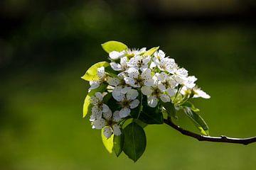Blüten van Bojan Radisavljevic