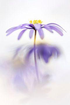 Schöne Anemone Blanda von Bob Daalder