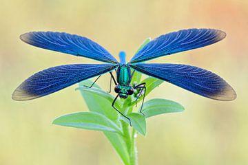 Libelle, Blauflügel-Prachtlibelle (Calopteryx virgo) mit geöffneten Flügeln von wunderbare Erde