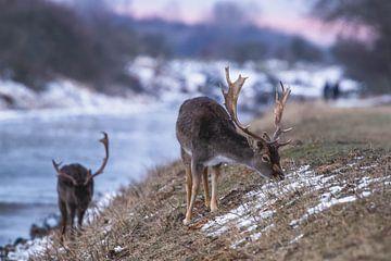 Damherten in de sneeuw met zonsondergang van Anne Zwagers