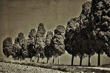 cypress van Peter Bergmann