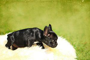 Französische Bulldogge 3