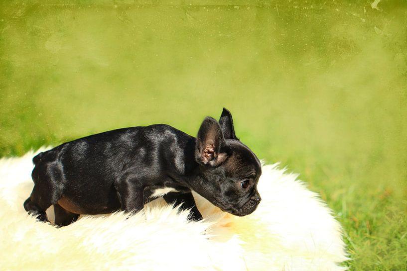 Französische Bulldogge 3 van Heike Hultsch