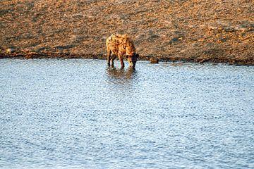 Trinkende Hyäne von Merijn Loch
