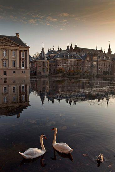 zwanen in de Hofvijver van Den Haag
