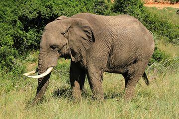 Olifant in Botlierskop Game reserve Zuid-Afrika van Jan Roodzand