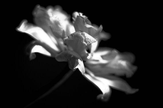 Black White Tulip 1 van Alice Sies
