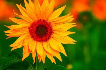 Sonnenblume von YourPhotoArt