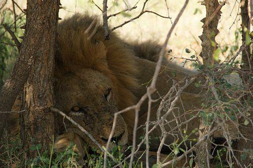 Leeuw liggend tegen een boom