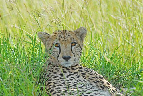 Portret Cheetah  in Masai Mara van