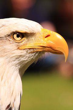 Amerikanischer Fischadler von Bobsphotography