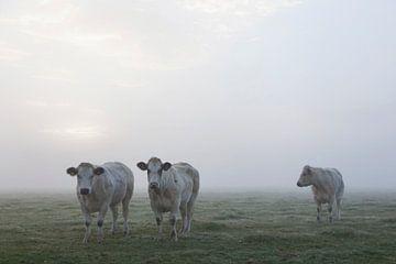 koe kijkt naar twee andere witte vleeskoeien in ochtendmist in de wei von anton havelaar