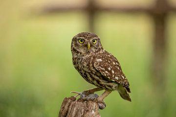 Screech owl, Athena Noctua sur Gert Hilbink