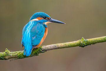 Ijsvogel (Nederland) van Frank Lenaerts
