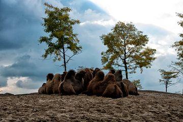 Kamelen van Emile Bosch