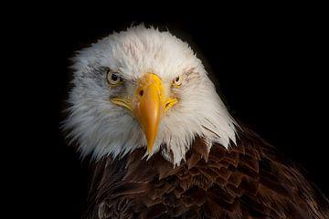 Weißkopfseeadler, der Bald Eagle von Gert Hilbink