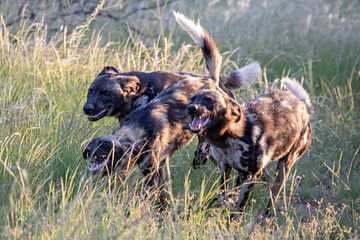 Wilde honden van Britta Kärcher