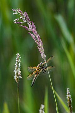 Libelle vastgeklampt aan een meebuigende rietstengel van Harrie Muis