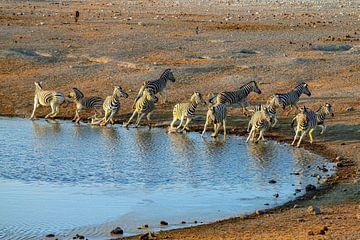 Kudde Zebra's schrikt van hyena's en slaat op de vlucht