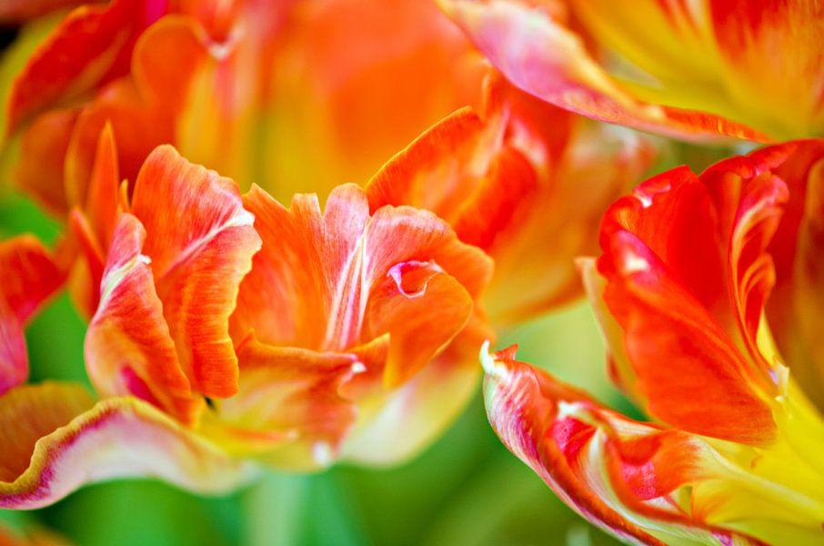 Oranje Tulpen van Jessica Berendsen