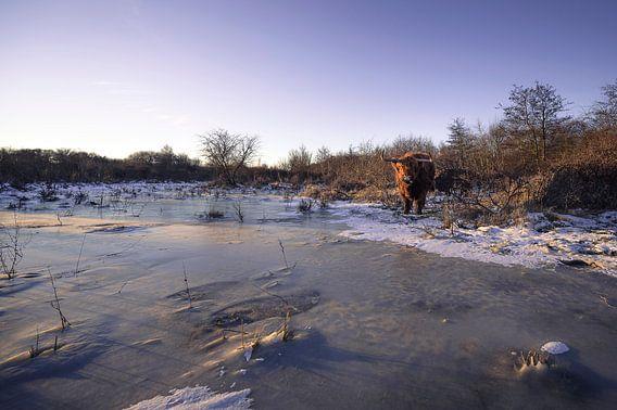 Schotse Hooglanders in ijzig landschap
