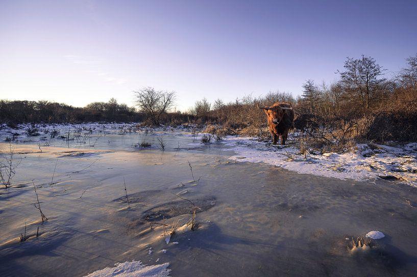 Schotse Hooglanders in ijzig landschap van Thom Brouwer