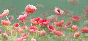 Rode anemonen van