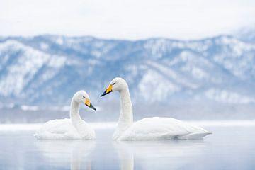 Paar Singschwäne in Japan von Sven Scraeyen