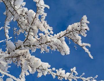 Schneebedeckte Sträucher von BVpix
