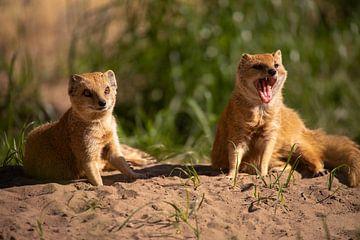 Fuchsmangusten - exotische Kleinsäuger von Tanja Riedel