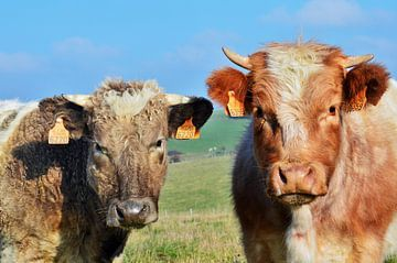 Koeien in de Ardennen van Evy Coppens