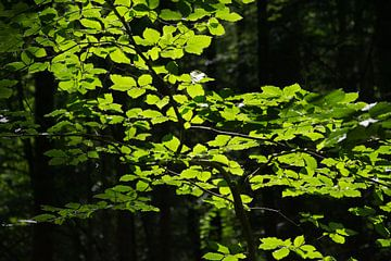 Verlichte bladeren in donker bos van PvdH Fotografie