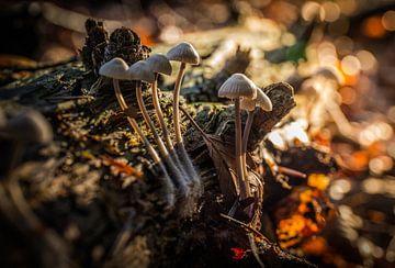 herfst paddenstoel ( Beuketaailing ) von Martijn van Steenbergen
