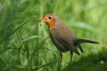 Robin mit Mittagessen
