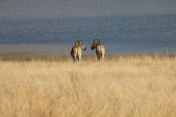 Zebra's aan de waterkant Pilanesberg Park Zuid Afrika van Ralph van Leuveren