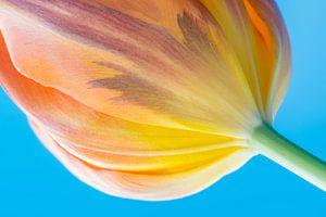 Bloemkelk van een tulp van