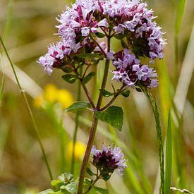 Marjolaine sauvage, Origanum vulgare sur Martin Stevens