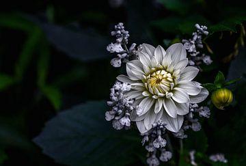 Dahlia bloem, Ronny Olsson van 1x