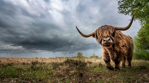Schotse Hooglander en slecht weer op komst!