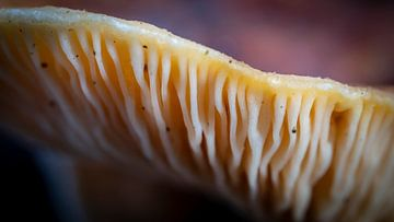 Pilz-Makro-Nuten von Noud de Greef