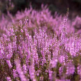 Mooi paars is niet lelijk van Ton van Buuren