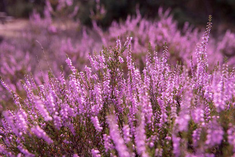 Le beau violet sur Ton van Buuren