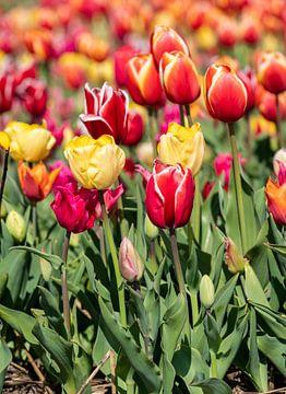 gekleurde tulpen van Hélène Wiesenhaan