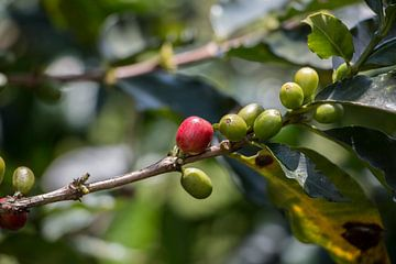 Koffiebonen op koffieplantage in Pereira, Colombia, Zuid-Amerika von Romy Wieffer
