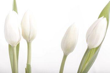 witte tulpen  van Willy Sybesma