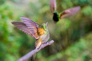 kolibrie in actie van